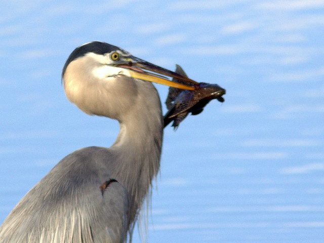 Great Blue Heron with Plecostomus 20111117