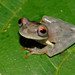 Common Bromeliad Treefrog - Photo (c) Andrew Snyder, all rights reserved