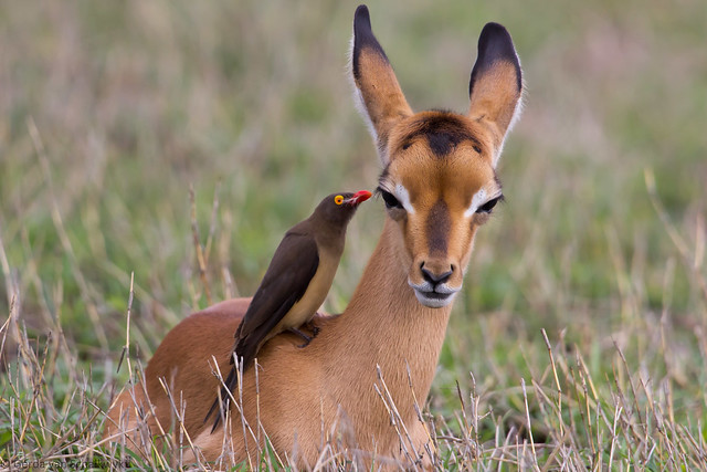 relationship between oxpecker and antelope