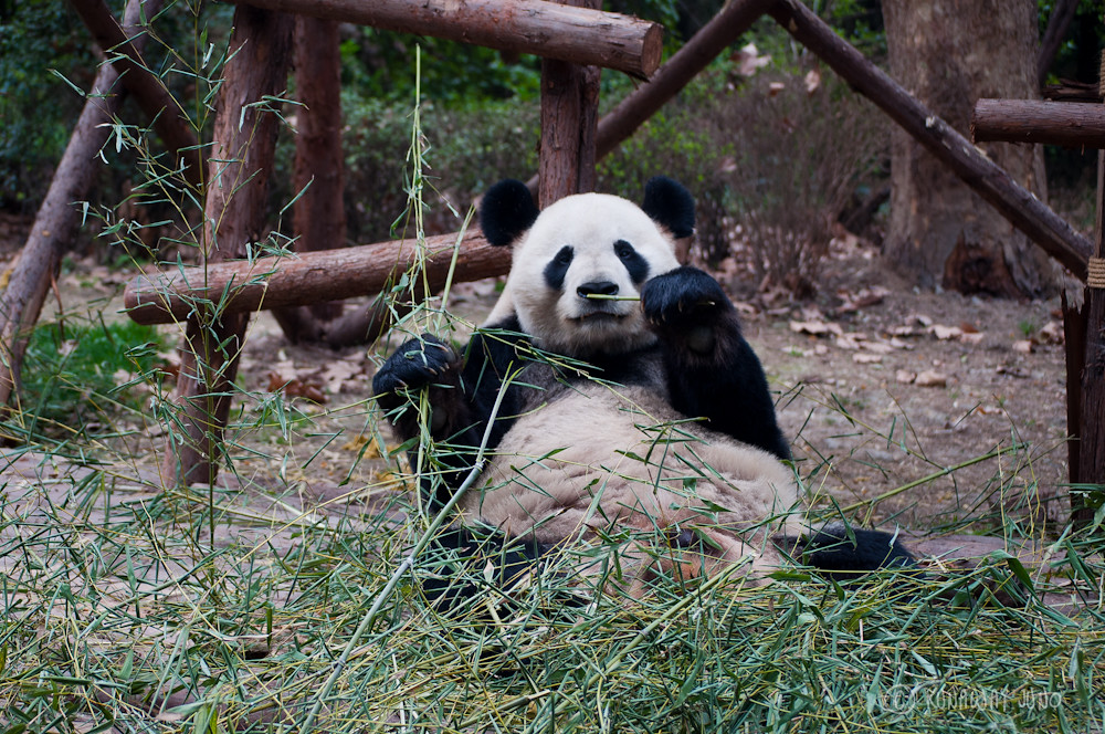 Giant_Panda_eating_Chengdu_Sichuan_China4