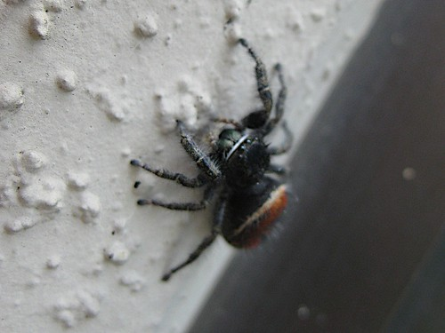 Red-backed Jumping Spider 1