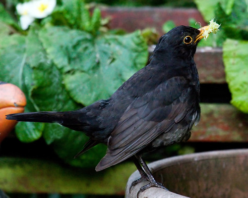 BLACKBIRD WITH A BEAKFULL