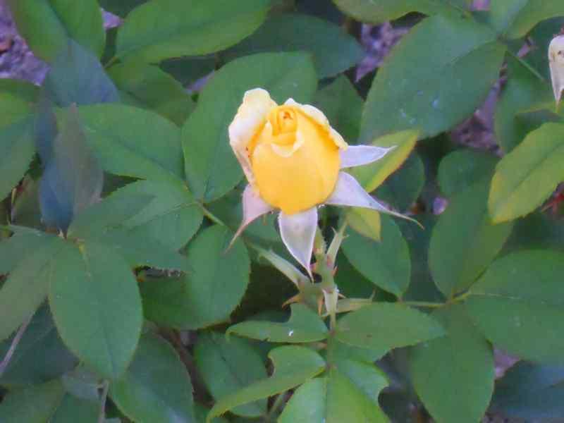 Rosa grandiflora 'Landora' 2