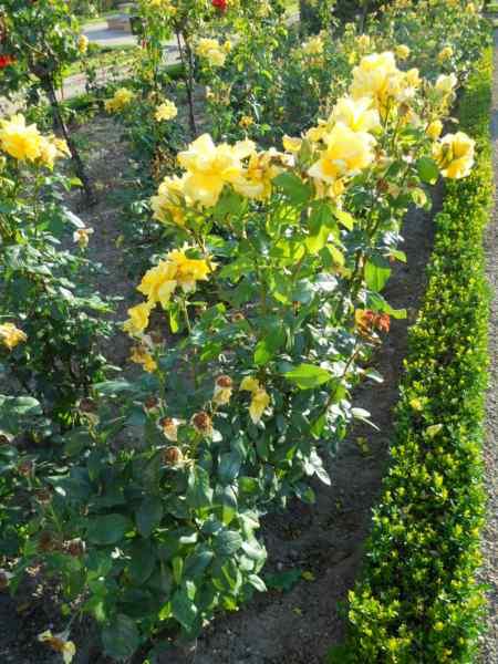 Rosa floribunda 'Sunflare' v 2