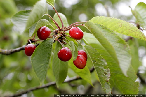cluster of cherries, ripe for the picking