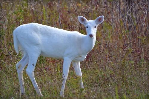 Nature - Animal - Wildlife - White White-tailed Deer - 無料写真検索fotoq