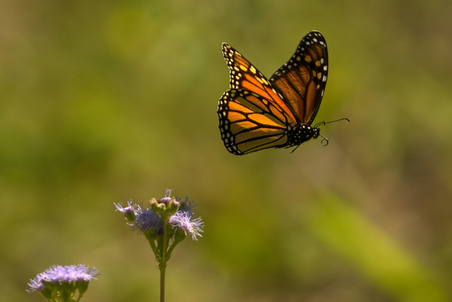 Monarch in flight | Danaus plexippus. Photographing a drag ...