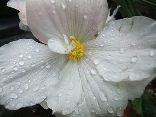 watery white flower