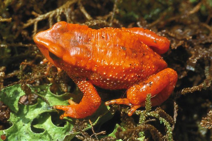 <i>Atelopus guanujo</i> Arlequín de Guanujo