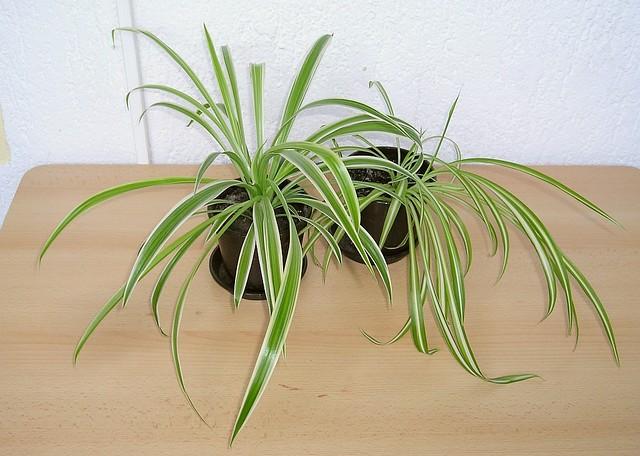gr nlilie chlorophytum comosum ocean flickr photo sharing. Black Bedroom Furniture Sets. Home Design Ideas