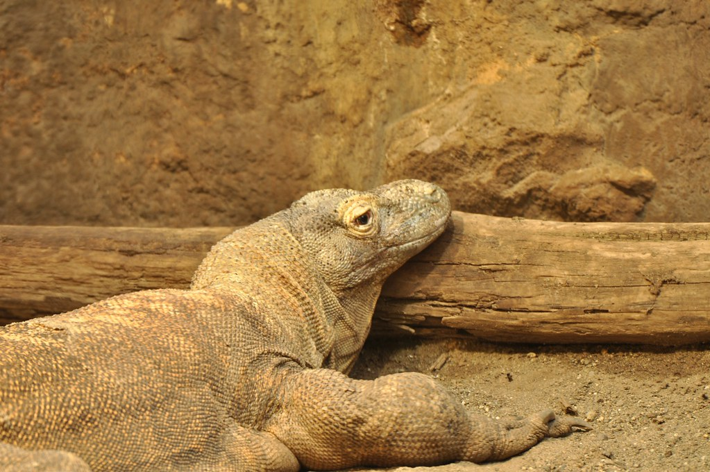 Monitor Lizard Facts For Kids