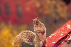 Little Nuts Thief