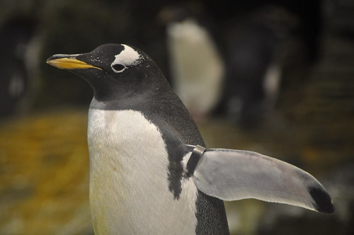 Gentoo Penguin by Truus & Zoo