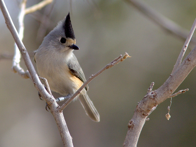 Black-crested Titmouse with band 20111112