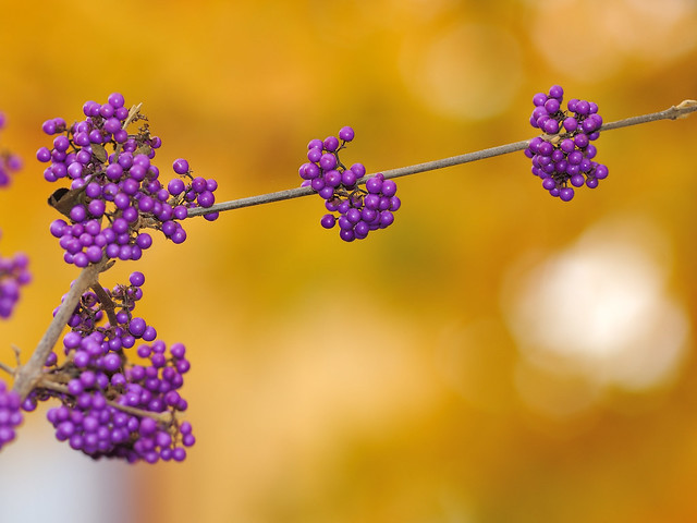 Callicarpa on yellow leaves background