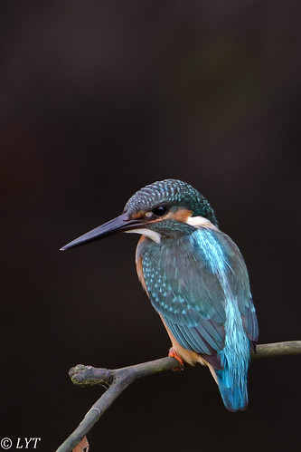 Common Kingfisher (10)