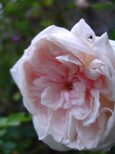 a recovering rose garden