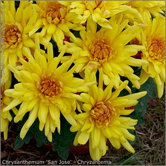 Chrysanthemum 'San Jose' - Chryzantema  'San Jose'