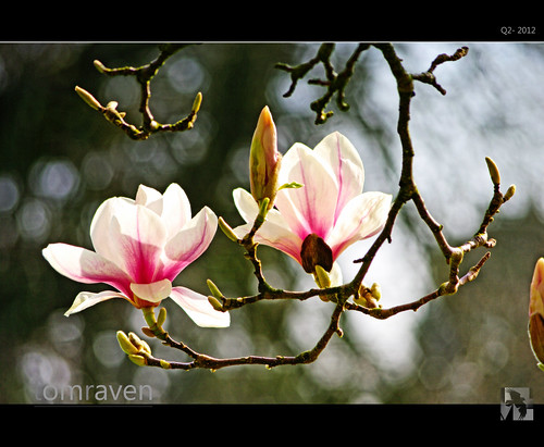 Magic Magnolias by TomRaven