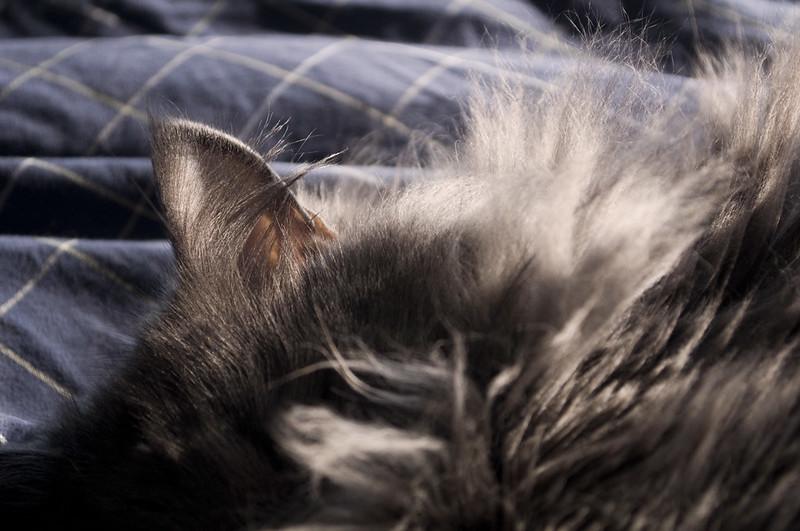 cat's ear