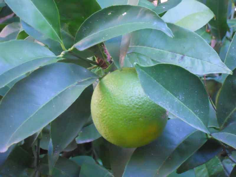 Citrus sinensis 'Salustiana' 1