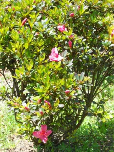 Rhododendron japonicum 'Favorite' v 3