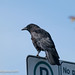 Crow on Sign