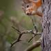 Red Squirrel by John Österlund