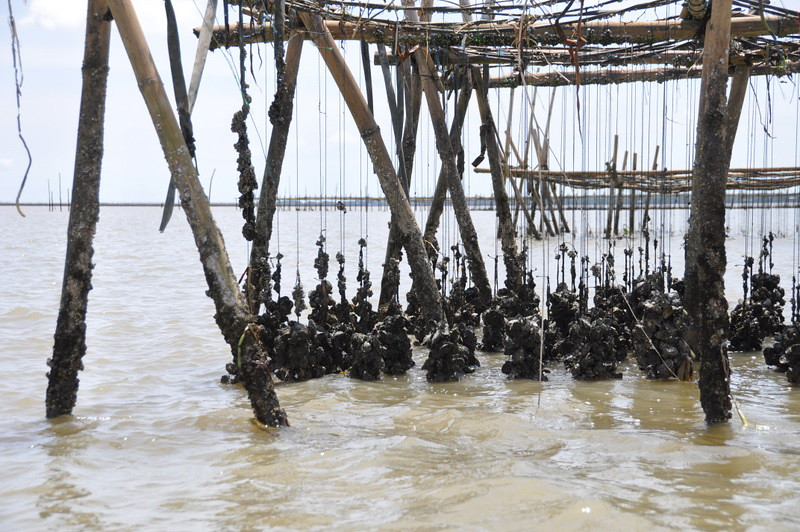 Oysters - Thai Fishing Village