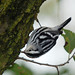 Black-and-White Warbler by Billtacular