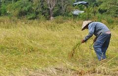 Acabant la collita d'arròs