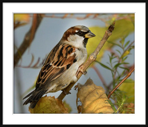 Friendly Little House Sparrow