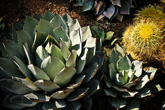 agave, plant, flora, green, produce,