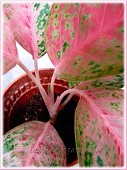 Aglaonema cv. Legacy or 'Miss Thailand' (Thai Aglaonema, Chinese Evergreen), Nov 7 2011