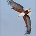 African fish eagle diving by jzsfotografix
