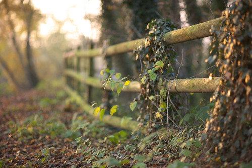 autumn trees fall leaves sunrise cheshire bokeh ivy canon5d hff canonef85mmf12lusm shakerleymere