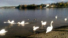 Swan Lake in fall color on Oslo Fjord beach #8