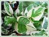 Epipremnum aureum 'N' Joy' (Pothos, Devil's Ivy, Money Plant, Silver Vine, Centipede tongavine, Hunter's Robe, Taro Vine)