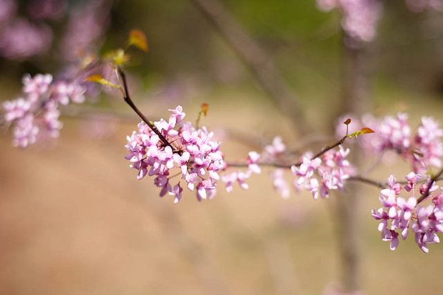 Spring2012 Redbud tree