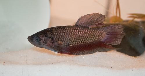 Petco king betta page 2 betta fish and betta fish care for Petco betta fish