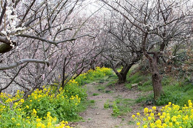 綾部山梅林の菜の花