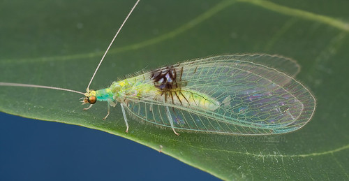 Beautiful lacewing - Semachrysa jade. - hock ping guek IMG_0161 merged copy