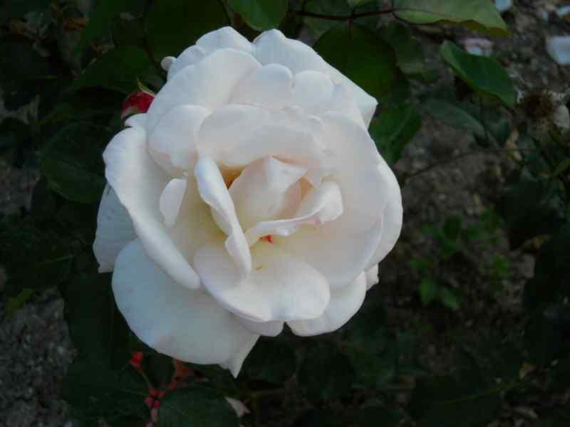 Rosa grandiflora 'White Swan' 2