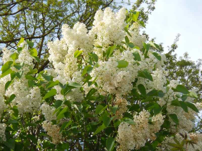 Syringa vulgaris 7