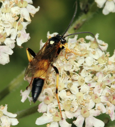 Hymenoptera 8656