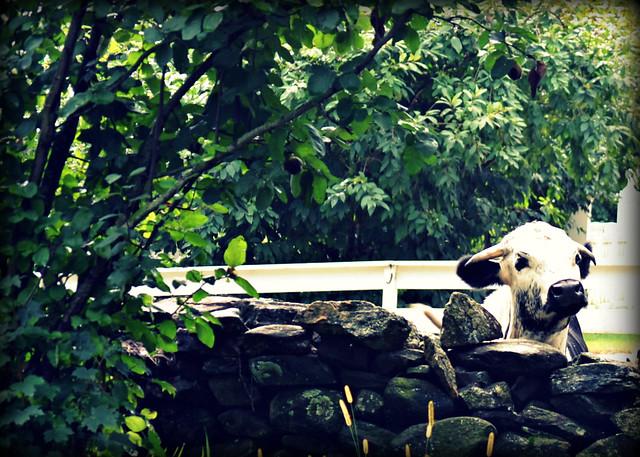 Peek-a-Moo!
