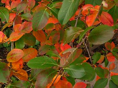Red Green Leaves I