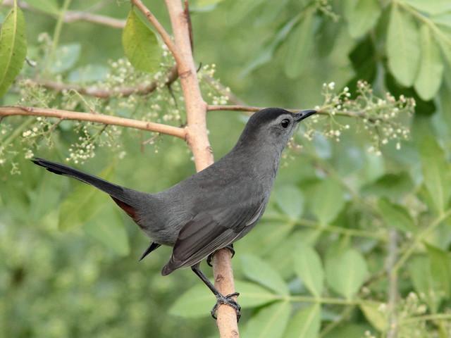 Gray Catbird 20111024