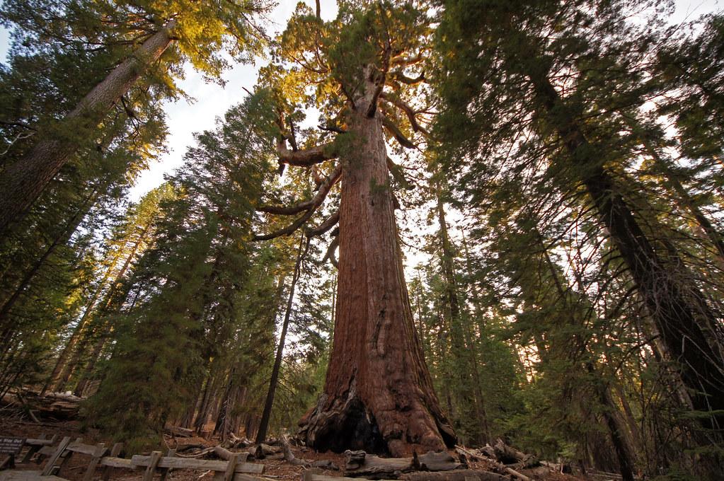 2011-10-15 10-23 Sierra Nevada 130 Yosemite National Park, Mariposa Grove of Giant Sequoias, Grizzly Giant
