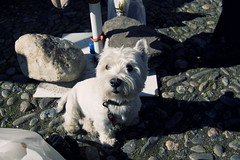animal, dog, pet, mammal, cairn terrier, west highland white terrier, miniature schnauzer, terrier,